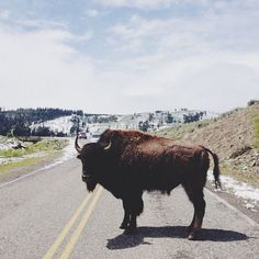 road block, black hills, buffalo, animals, kevin russ, 19th century, summer road trips, national parks, the road
