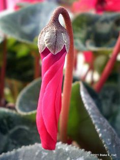 Cyclamen beginning to bloom...such an amazing photo