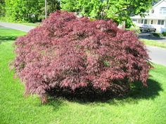 Acer Palmatum dissectum 'Crimson Queen' (Weeping Japanese Maple)  Height:  8-10 ft. (2.4-3 m)  10-12 ft. (3-3.6 m). Note on red leaf color- Just like our skin darkens in color, exposure to the sun will darken the red color on Japanese maples leaves. A few hours to ½ day may be enough but more sun will develop a deeper red on the leaves while shady areas grow leaves with a red-blushed green.