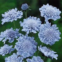 @Michelle Vanderheiden / Butterfly Blue Scabiosa