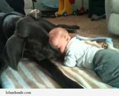 Funny Great Dane | , Funny Pictures, Funny Cat Videos – lolandsmile » » Great Dane ...