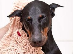 Soggy Doggy, Absorbs water and dirt from muddy dogs to keep them and your floors cleaner. Pin to WIN from @DailyGrommet. Enter here: http://www.dailygrommet.com/products/pin-to-win doggi super, dogs, pet, dri towel, doggi doormat, floor cleaner, super shammi, towels, soggi doggi