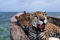 Mexican Jaguar
