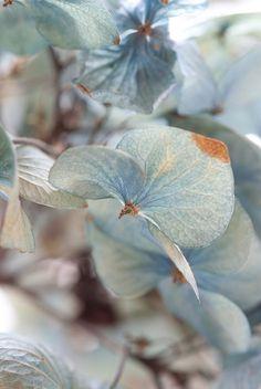 hydrangeas in soft blue ..