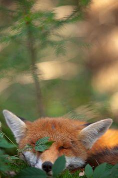 i want a little fox!