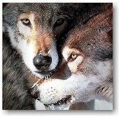 Wolfs I love them. They remind me on my dead dog. He was a Husky-German Shepherd-Mix. I miss him so much!