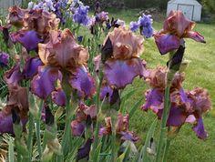 Iris (Iris 'Quiet Riot') uploaded by MShadow