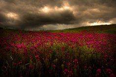 flower pictures, field flowers, red flower, amaz photographi, cloud, natur, beauti, storms, flower fields