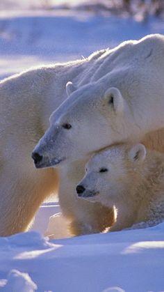 polar bear, bear, fa