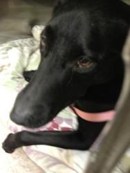 No longer available. Angel is an adoptable Labrador Retriever Dog in Honolulu, HI. Meet Angel - We estimate she is between 8-10 years old, a beautiful Lab. She was abandoned at the Humane Society with a high fever and bar...
