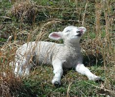 A beautiful spring day has one of our little ewe lambs, Kathleen, lying in the warm sunshine. She is a Coopworth - Border Leicester cross.