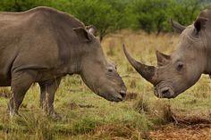 sauvez les rhino