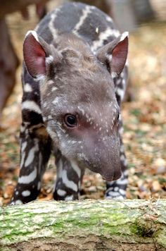 two hour old tapir