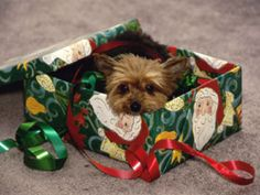 yorkie s are sooooo cute on pinterest yorkie yorkshire terrier and