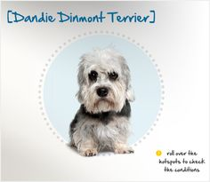 "Did you know the Dandie Dinmont Terrier is the only dog breed to be named for a fictional character? His name comes from a character in an 1814 Sir Walter Scott novel, Guy Mannering. In the book, the farmer Dandie Dinmont owns terriers named ""Pepper"" and ""Mustard"" after the colors of their coats."
