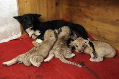 A dog nursing 3 cubs? What an amazing mommy!