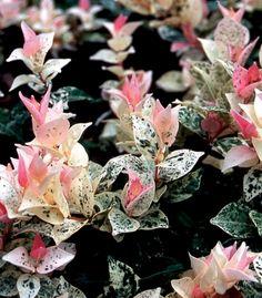 tri color jasmine (trachelospermum asiaticum)