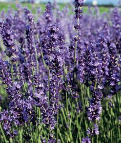 Provence Blue Lavender. Have never been lucky with lavender . . .