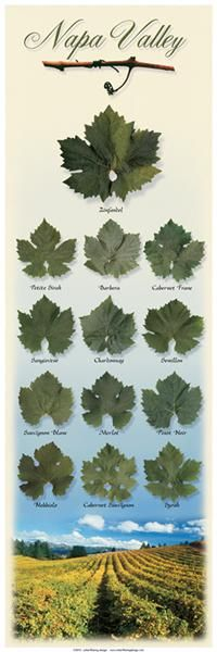Each grape variety has a unique shape or patterned leaf . . .