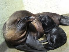 Rare Northern fur seal gives birth to pup (New England Aquarium)