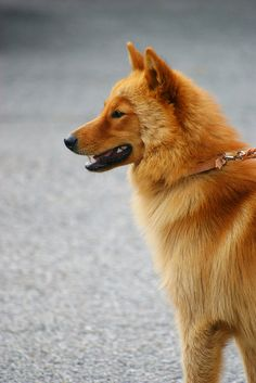Finnish Spitz Dogs / Suomenpystykorva