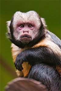 Protect the Atlantic Rainforest & Yellow-breasted Capuchin at The Rainforest Site