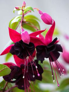 Exotic fuchsia is a fascinating flower, with lovely hanging lanternlike flowers in magentas, pinks, purples, and whites. If you're lucky, your fuchsia will attract hummingbirds. There are several types of fuchsia on the market.  These thrive in northern climates, like the Midwest, but in California, I have trouble growing them.  www.loisjoyhofmann.com