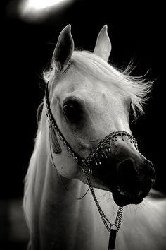 An arabian beauty, like Cicely's horse in Darkride.