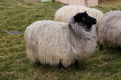 Shetland sheep -  love those black faces and long wool staples!