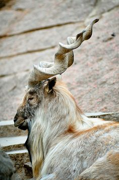 Moscow Zoo Park: Markhor beautiful horns
