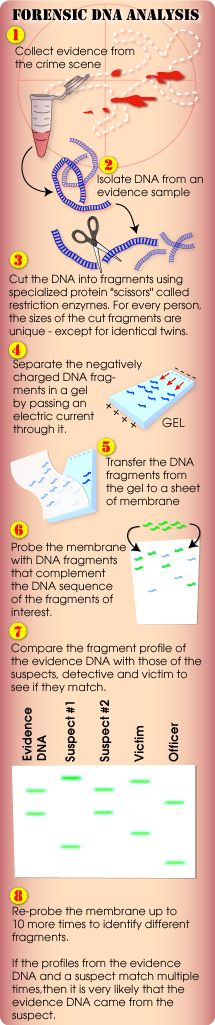 (gel electrophoresis) DNA analysis and comparison