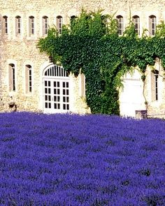 A field of lavender welcomes visitors to the Abbey de Senanque in the Provence region of France. The abbey's monks grow and harvest the lavender and produce lavender honey, taking advantage of the millions of bees drawn to the beautiful, fragrant blooms.