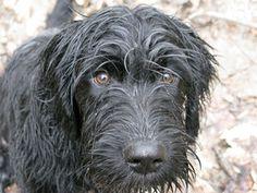 Schnauzer Lab mix 'Biff' | Dogs! | Pinterest