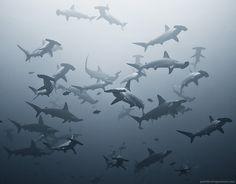 Hammerheads off the coast of South Africa ~ photographer Alexander Safonov  #sea #ocean