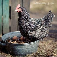 bar rock, tubs, eggs, buckets, boxes, nests, hens, birds, rocks