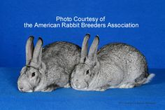 American Chinchilla rabbit: American heritage breed rabbit now critically endangered and facing total extinction. Visit the ALBC to help save this beautiful rabbit.