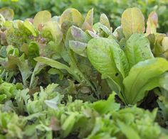 Lettuce - Great crop for kids - Just sprinkle seeds on top of the soil and cover with a light layer of soil. Wait just 5-10 days to see plants emerge.