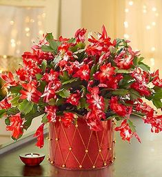 Did your Christmas Cactus bloom this year? Wondering how to get it to flower next year? Here are our tips for keeping a Christmas Cactus blooming