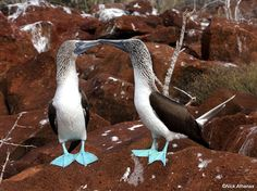 Blue-footed Booby - Boobies kissing!