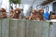 Poodle Puppies are on the fence