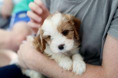 beach cottage dog anim, cavoodle, cuti, cottag dog, puppi time