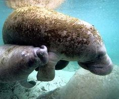 Take a hint from these manatees—the best way to cool down in Crystal River, #Florida is to make a splash!