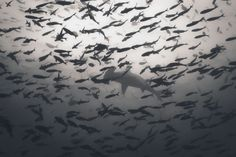 Hammerhead shark photo by Denis N. -- National Geographic Your Shot