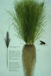 Vetiver plant-deep roots! They are being planted to prevent soil erosion. The dried roots also smell good.