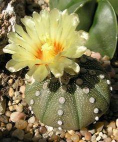 Astrophytum asterias by davesgardem #Flower #Cactus