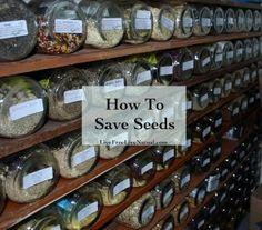I think the practice of saving seeds is due for a revival. Seed saving is rewarding in so many ways. It's very easy.  If you find yourself smitten by it, there are ways you can ...