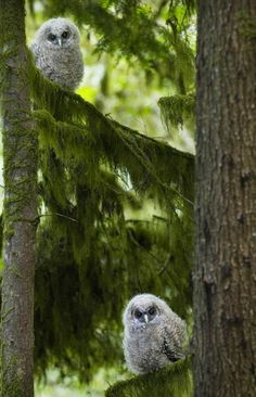 Spotted Owls~woo woo is there?