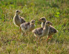 Four Baby Peacocks