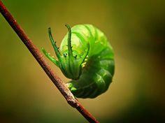 Green Grub