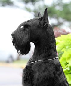 Giant Schnauzers. My man wants one. I'm not sold on the idea yet